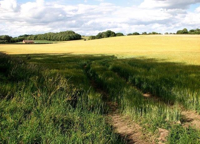 Ripening barley east of Cross Lane