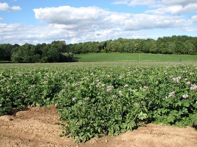Potato crop east of Cross Lane