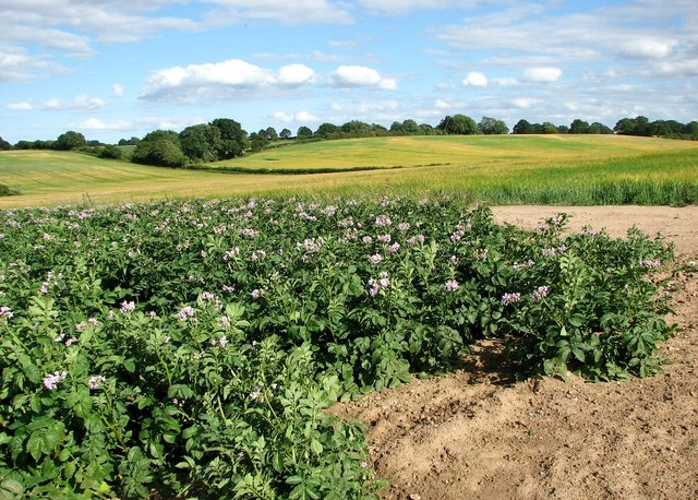 Flowering potato crop