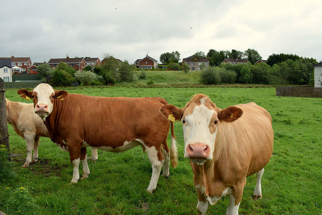Cows, Mullaghmore