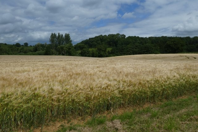 Barley fields near Church Farm