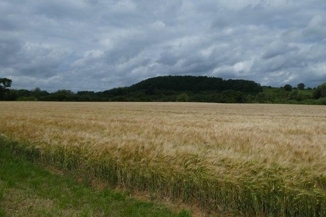 Barley above the Derwent