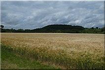 SE7666 : Barley above the Derwent by DS Pugh