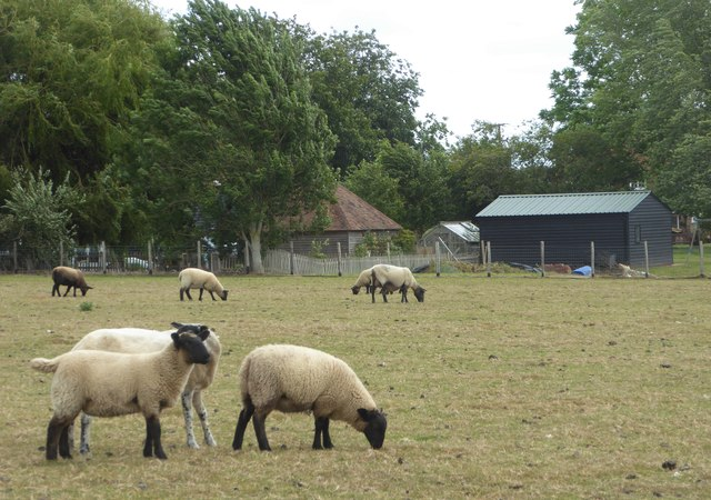 Sheep, Stonebridge Green, near Egerton