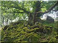 SK2579 : Solitary millstone by a gnarled oak tree by Graham Hogg