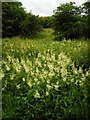 NS5473 : Meadowsweet, Craigdhu Wedge by Richard Sutcliffe