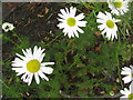 NT2470 : Scentless Mayweed - detail by M J Richardson