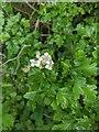TF0820 : Hawthorn in hedgerow - 37 by Bob Harvey