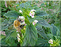 NJ3652 : Common Hemp-nettle (Galeopsis tetrahit) with Bumble Bee by Anne Burgess