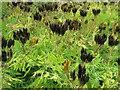 NT1977 : Sweet Cicely - Myrrhis odorata by M J Richardson
