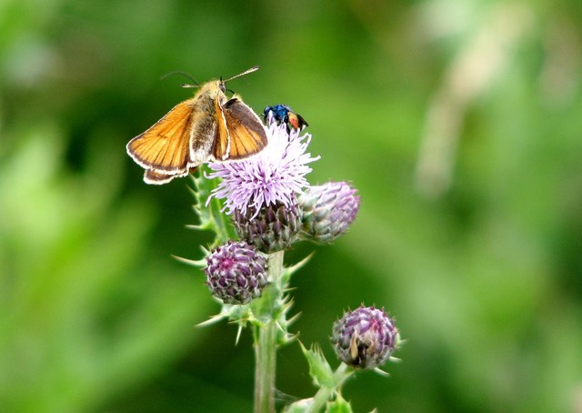 Small Skipper (Thymelicus sylvestris) on Creeping thistle