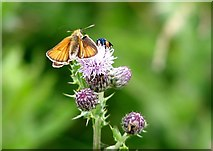 TG3204 : Small Skipper (Thymelicus sylvestris) on Creeping thistle by Evelyn Simak