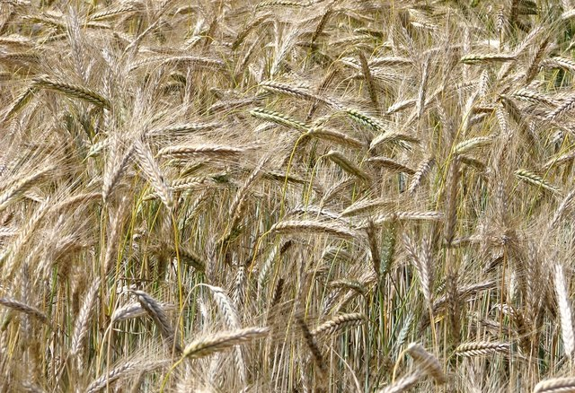 Ripening cereal crop
