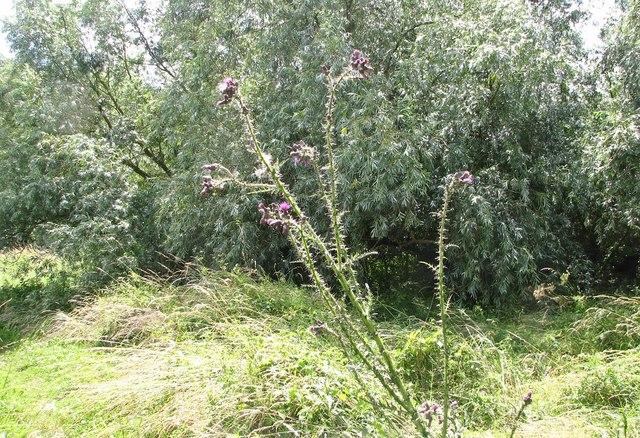 Marsh thistle (Cirsium palustris)