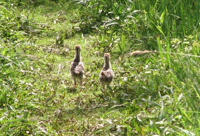 Two pheasant chicks looking for mother