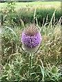 SK5034 : Teasel flower beside the Erewash by David Lally