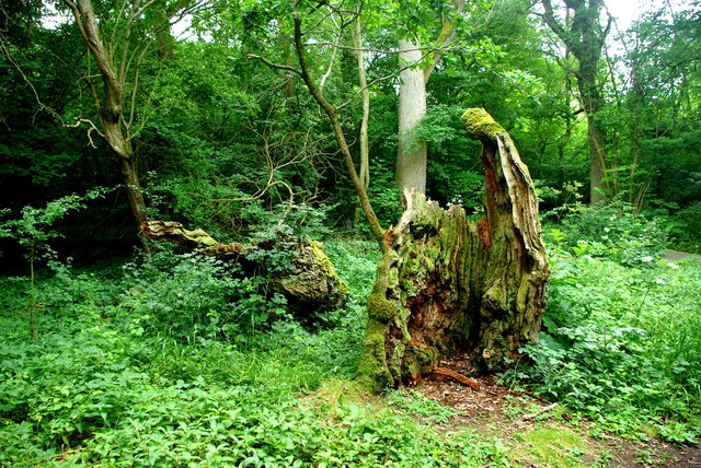 Remains of an ancient oak in Hayley Wood