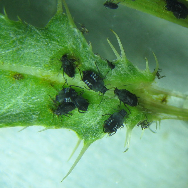Black bean aphids - Aphis fabae