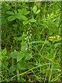 TF0820 : Circaea lutetiana by Bob Harvey
