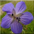 SK6654 : Meadow Cranesbill (Geranium pratense) by Alan Murray-Rust