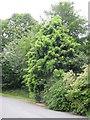 NT2076 : Willow-leaf Podocarp at Lauriston by M J Richardson