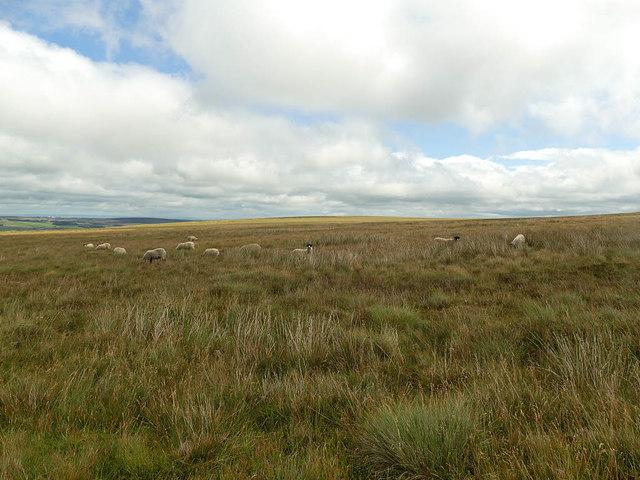 Sheep on Ilkley Moor