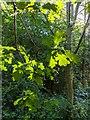 TF0820 : Sunlight and oak Leaves by Bob Harvey