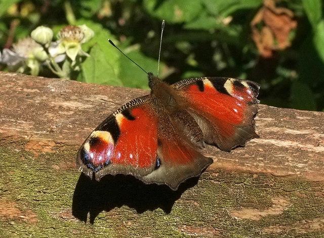 Peacock butterfly near Cockington