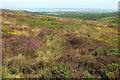 ST1339 : Heather on Thorncombe Hill by Derek Harper