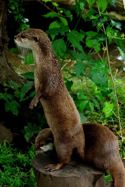 Otters at Shepreth