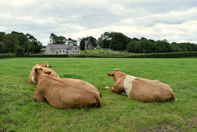 Cattle resting, Tattraconnaghty