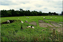 H4277 : Sheep, Tattraconnaghty by Kenneth  Allen