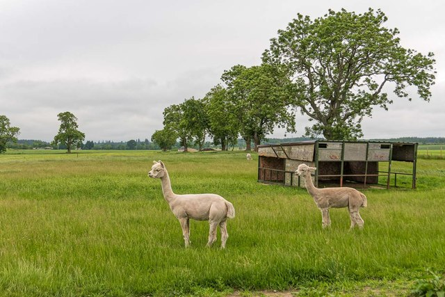 Alpaca at Milton of Kilravock Farm
