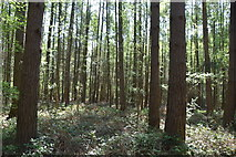 TQ5936 : Conifers, Chase Wood by N Chadwick