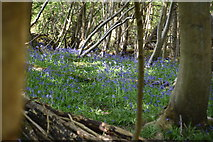 TQ5836 : Bluebells, Chase Wood by N Chadwick