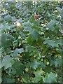 TF0820 : Lots of Acorns by Bob Harvey