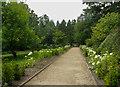 NZ0878 : Path between white hydrangeas by Humphrey Bolton