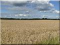 SE3228 : Wheatfield near Robin Hood by Stephen Craven