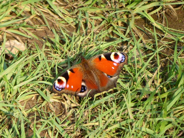 Peacock butterfly, Kers Hope
