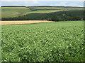 NT6861 : Pea crop at Cranshaws by M J Richardson