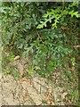 TF0820 : Oak Sapling by Bob Harvey