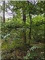 TF0820 : Junior Oak by Bob Harvey