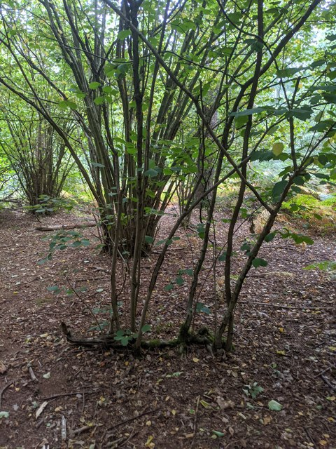 Hazel regrowth