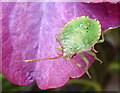 NJ3458 : Green Shield Bug by Anne Burgess
