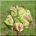 NJ4063 : Seedhead of Musk Mallow (Malva moschata) by Anne Burgess