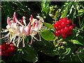 NJ4063 : Honeysuckle (Lonicera periclymenum) by Anne Burgess