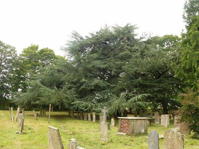 Jubilee cedar in the churchyard, Rolleston