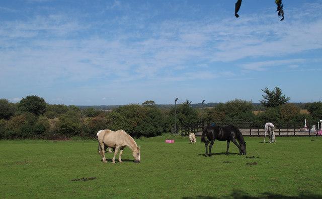 Horses in pasture, nr Church Farm, Stapleford Abbotts