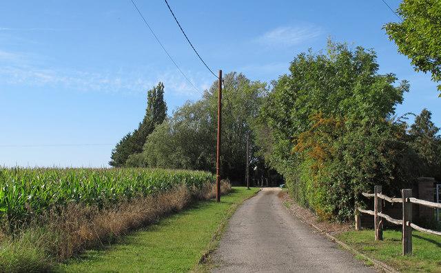 Sweetcorn crop near footpath on farm track, Navestock