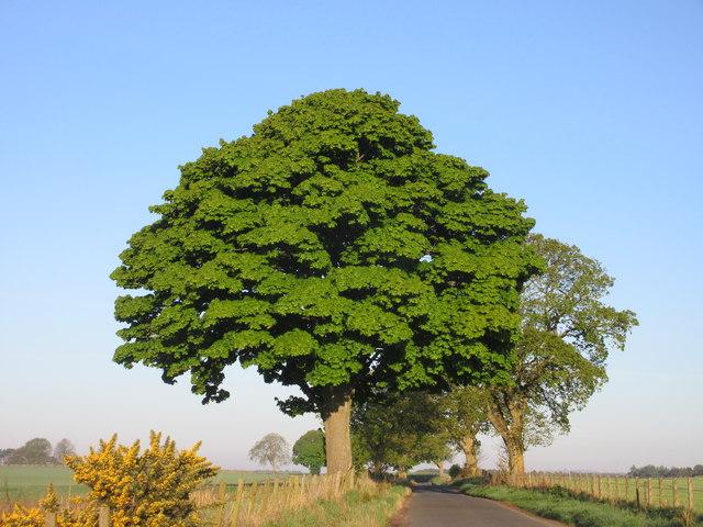 Sycamore tree near Ballindarg